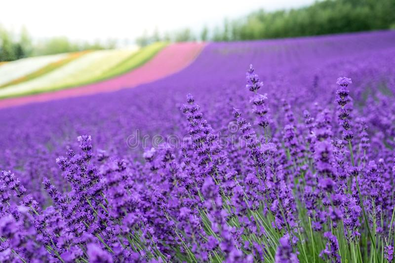Lavender flowers blooming close-up Purple field flowers and Rainbow colorful flower background in Japan royalty free stock image