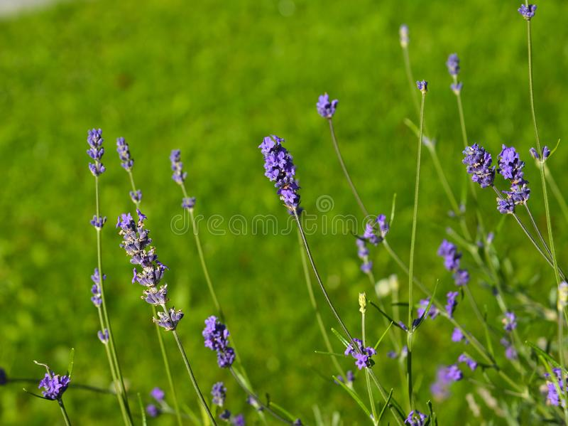 Lavender flowers blooming at the garden royalty free stock images