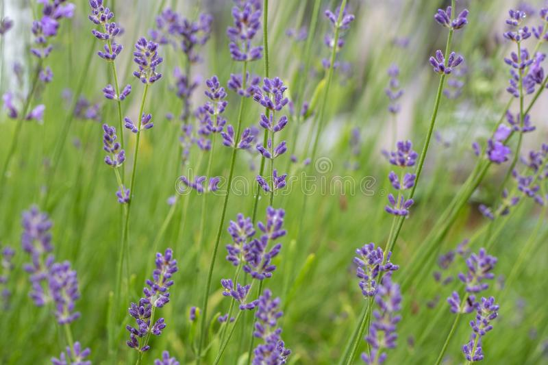 Lavender flowers blooming. Purple field flowers background. Tender lavender flowers. Lavender flowers blooming. Purple field flowers background. Tender lavender stock photo