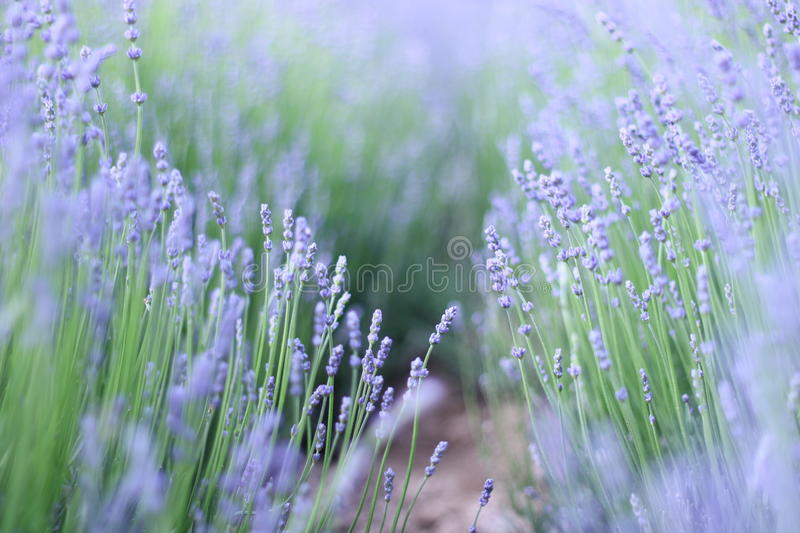 Purple Lavender flowers blooming royalty free stock images