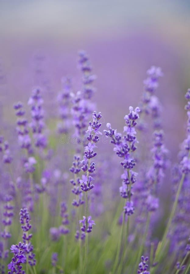 Lavender flowers bush stock photos