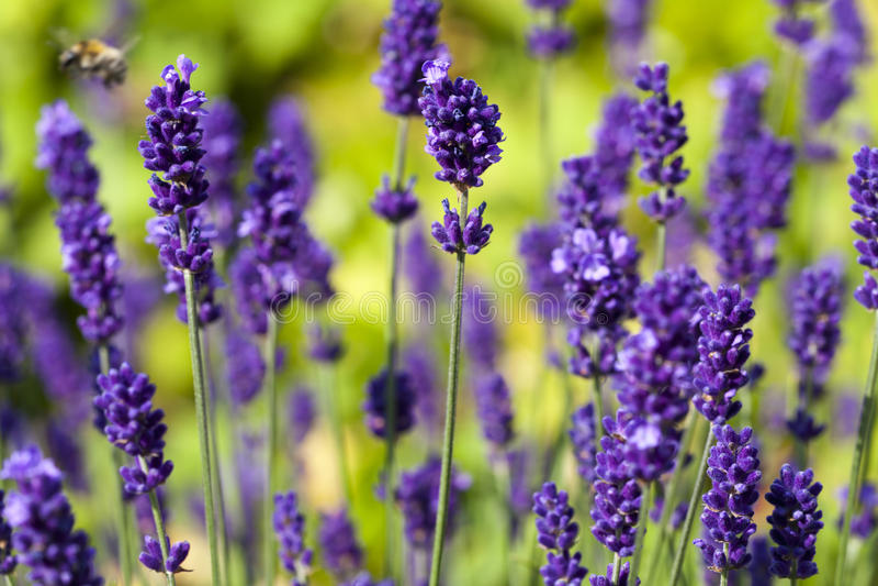 Download Lavender flowers stock image. Image of close, green, lavandula - 32270063