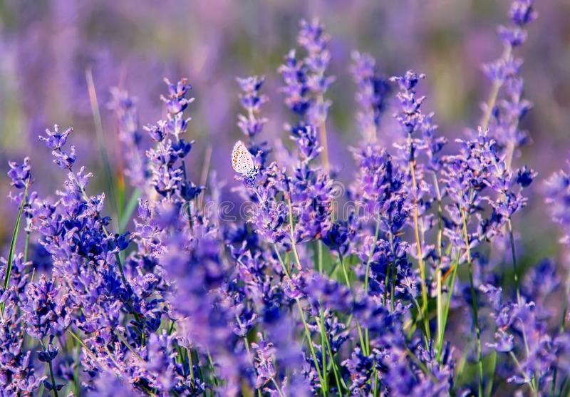 Lavender flowers close up. Natural composition stock images