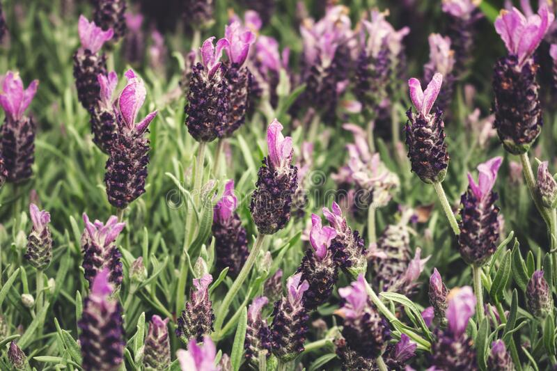 Lavender flowers. A closeup view of a garden of lavender flowers royalty free stock images