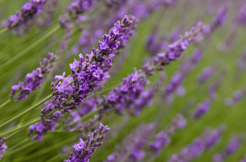 Lavender flowers in the field royalty free stock images