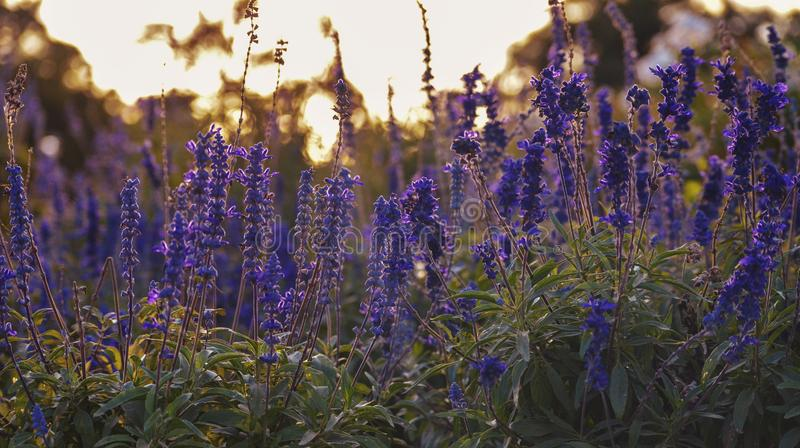 Lavender flowers field colorful sunset outdoors nature landscape background calm and relaxing zen forest Park. Lavender flowers field colorful sunset outdoors royalty free stock photos