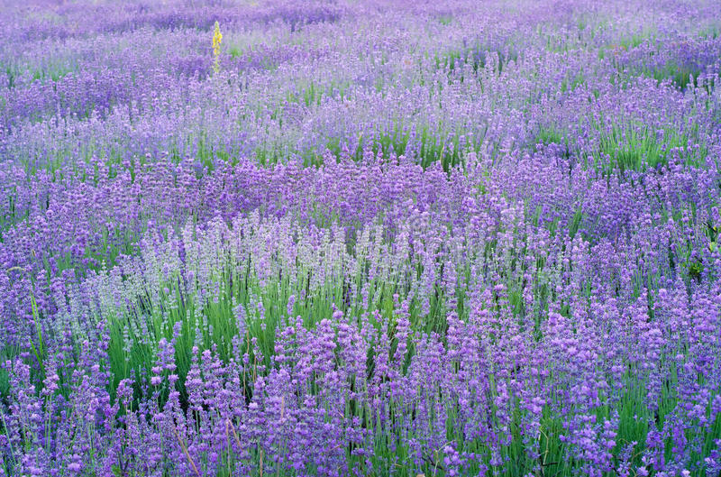 Lavender flowers field. royalty free stock photography