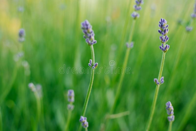 Lavender flowers in the field. Selective focus royalty free stock photography