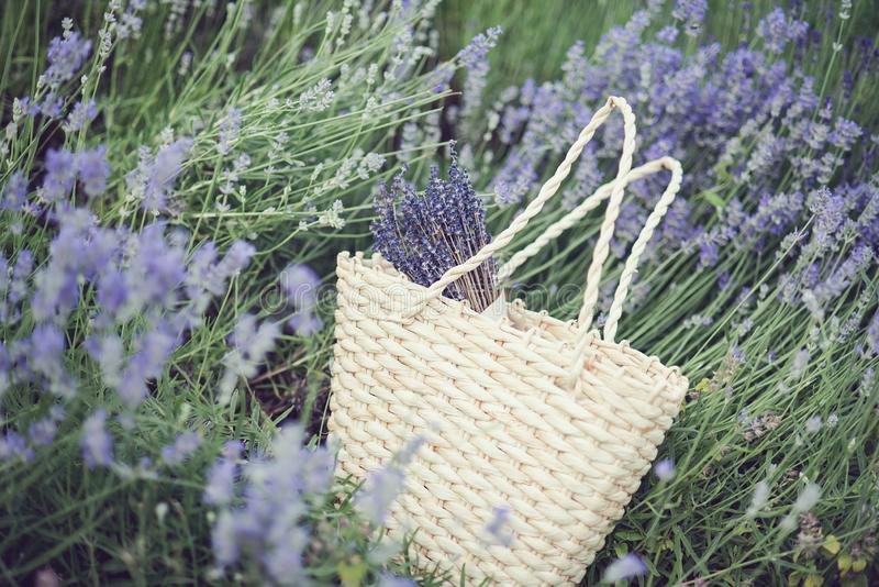 Lavender flowers in lavender field. summer purple lavender field. soft focus the field for background. Agriculture, aroma, aromatherapy, beautiful, beauty royalty free stock image