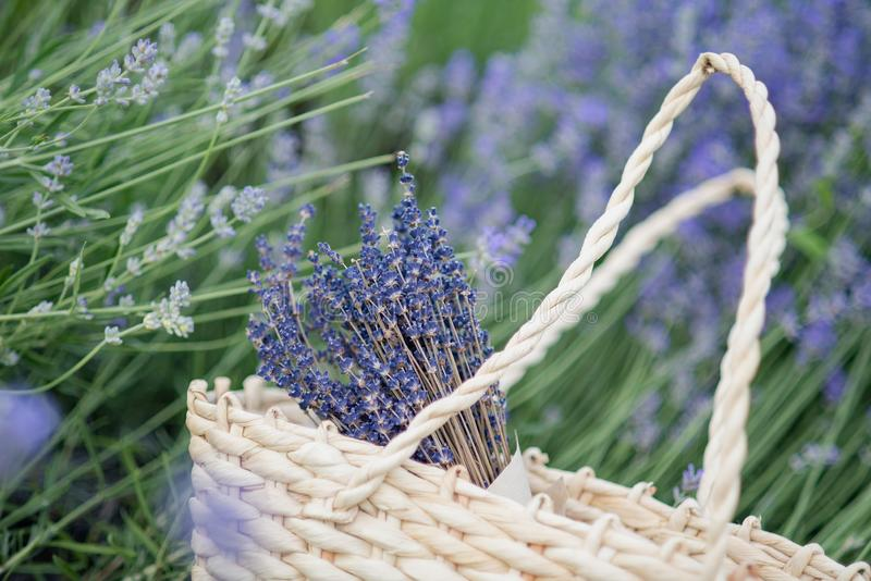 Lavender flowers in lavender field. summer purple lavender field. soft focus the field for background. Lavender flowers in Wicker basket in lavender field stock images