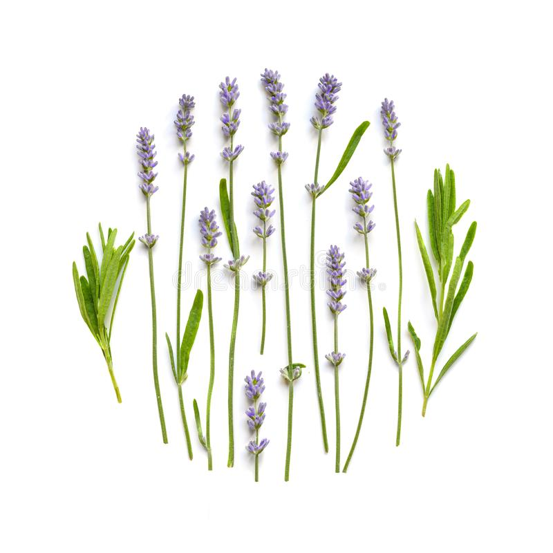 Lavender flowers floral ornament on a white royalty free stock photo