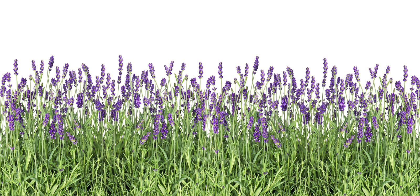 Download Lavender Flowers Fresh Lavender Plants Isolated White Background Stock Image - Image of decoration, nature: 118607205