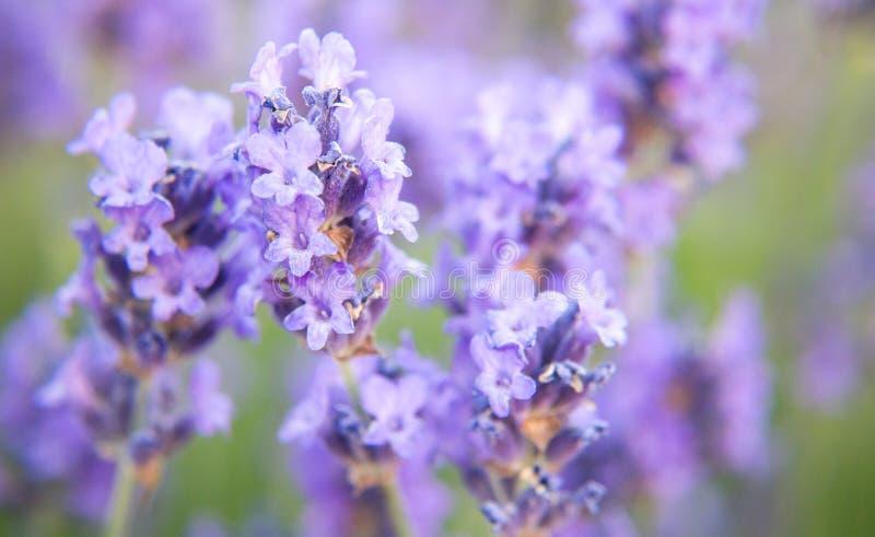 Lavender. Flowers in full bloom stock photo