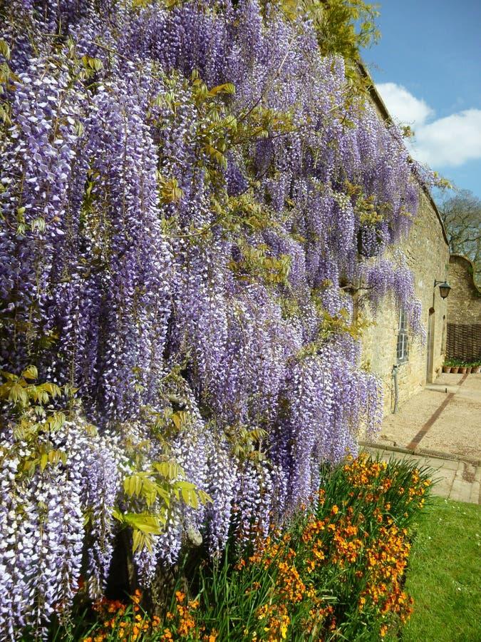 Lavender flowers in garden stock photos