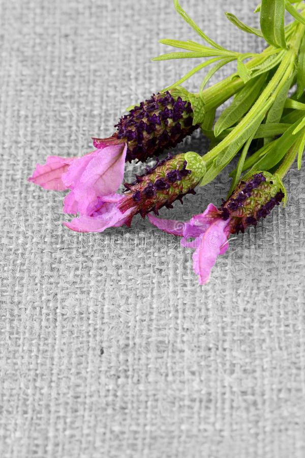 Lavender flowers on hessian fabric. With selective color royalty free stock photography