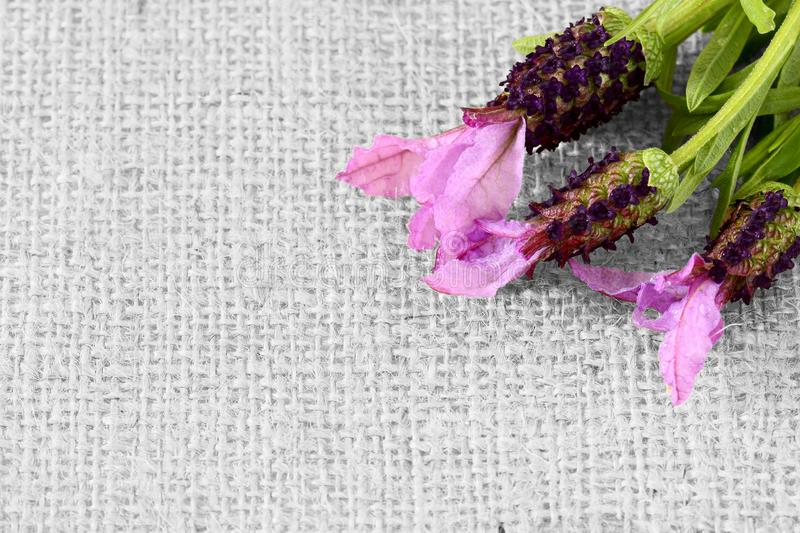 Lavender flowers on hessian fabric. With selective color royalty free stock photos