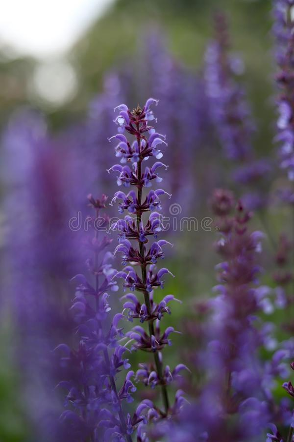 Lavender Flowers in Hyde Park, London, UK royalty free stock image
