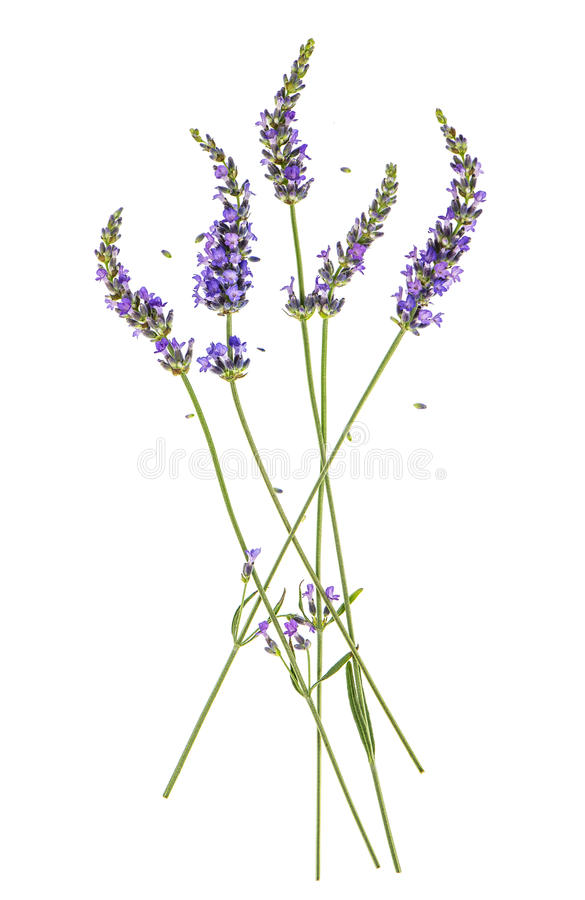 Lavender flowers isolated on white. Background royalty free stock image
