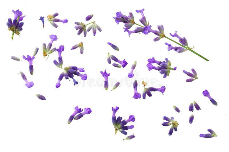 lavender flowers isolated on white background. top view royalty free stock photography