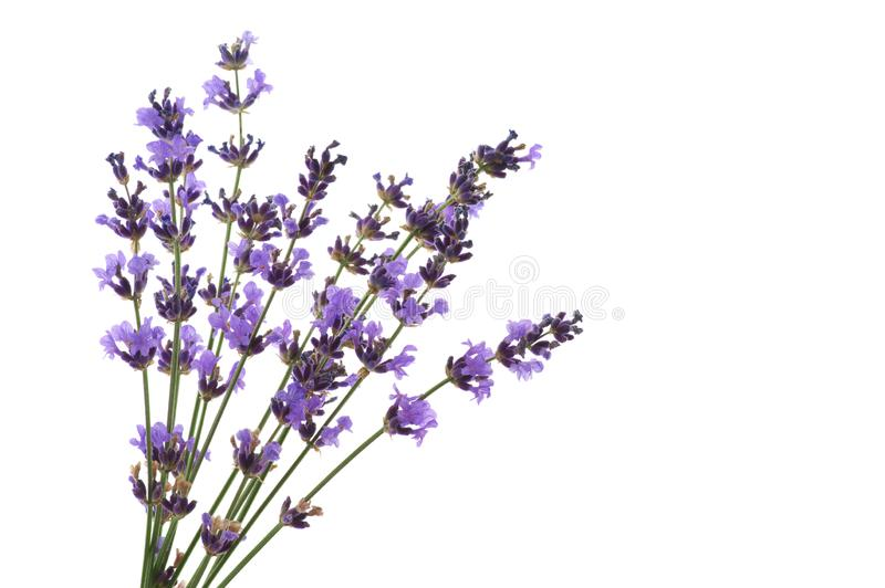 Lavender flowers isolated on white royalty free stock photography