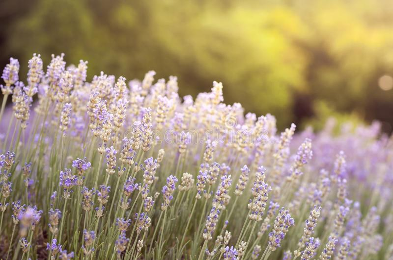 Lavender flowers in a lavender field close-up. Sun light. Blurred background stock photography