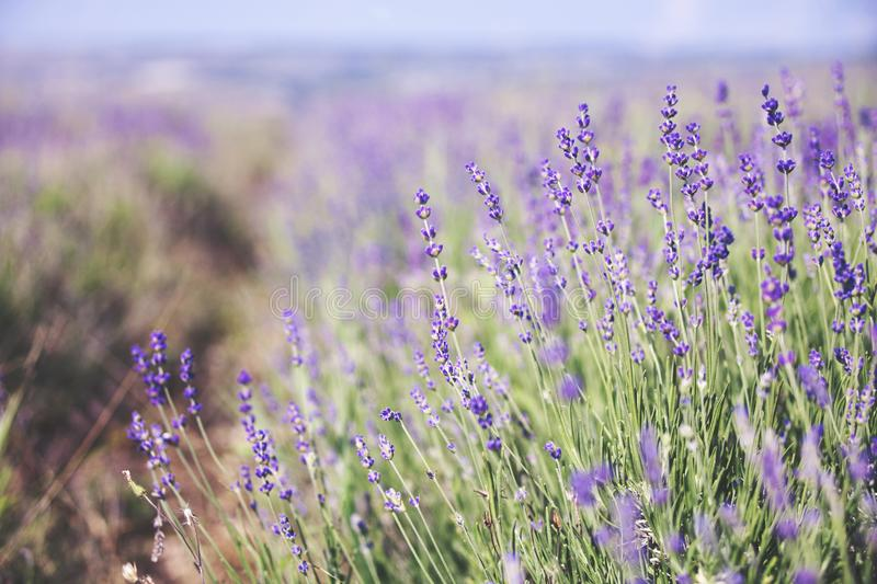 Lavender flowers - nature background stock images