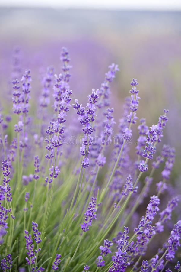 Lavender flowers - nature floral background royalty free stock photography