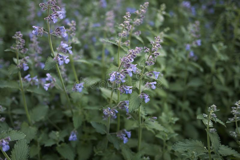 Lavender flowers of Nepeta cataria plants. Nepeta cataria blooming in a flowerbed royalty free stock photography