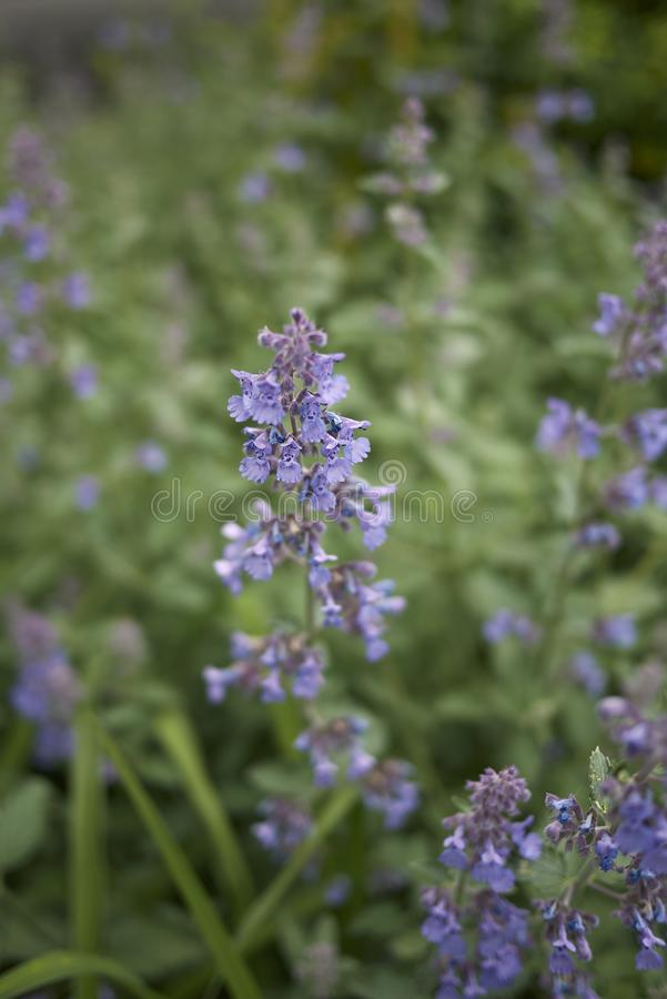 Lavender flowers of Nepeta cataria plants. Nepeta cataria blooming in a flowerbed royalty free stock photo