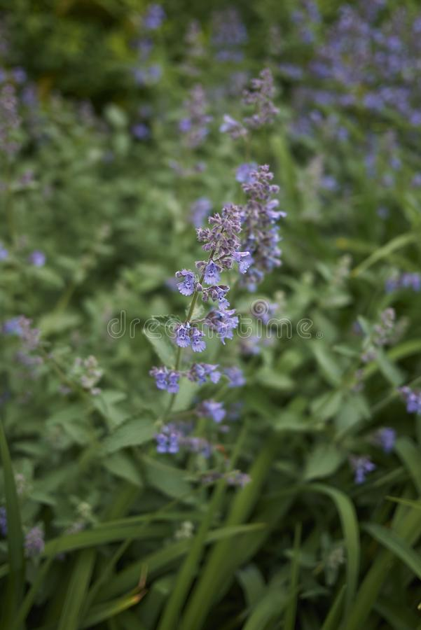 Lavender flowers of Nepeta cataria plants. Nepeta cataria blooming in a flowerbed stock images
