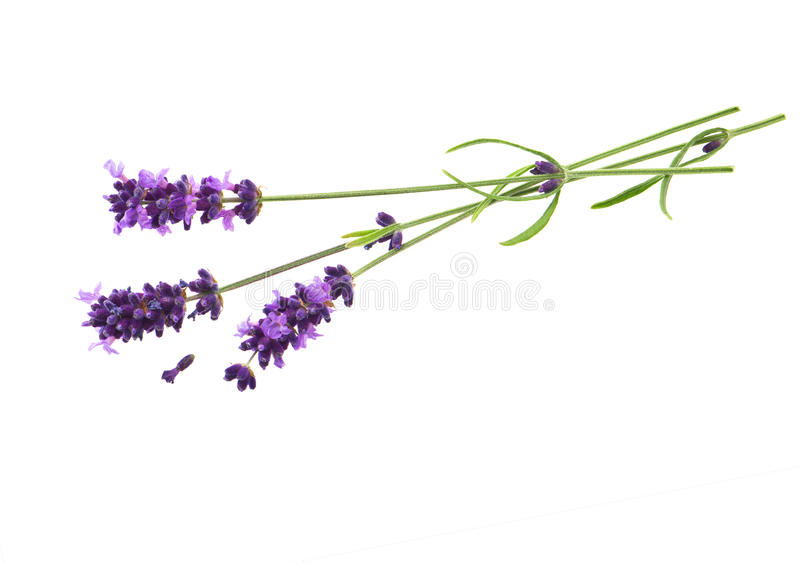 Download Lavender Flowers Over White Background Stock Image - Image of detail, flower: 25899603