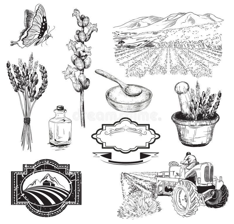 Lavender flowers sketch stock illustration