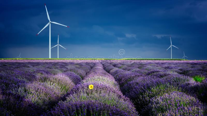 Download Lavender Flowers In The Spring With Eolian Mills Stock Image - Image of nature, landscape: 111314213