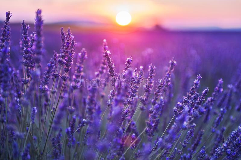 Lavender flowers at sunset in Provence, France. Macro image, shallow depth of field stock photography