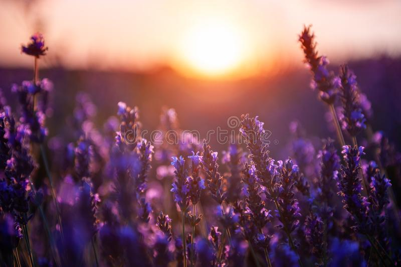 Lavender flowers at sunset in Provence, France. Macro image, shallow depth of field royalty free stock photography