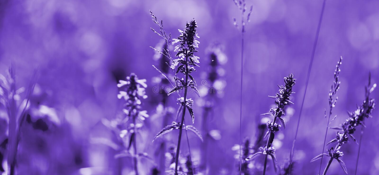 Lavender flowers of ultraviolet tones. Violet lavender field with soft light effect for your floral background.  royalty free stock photos