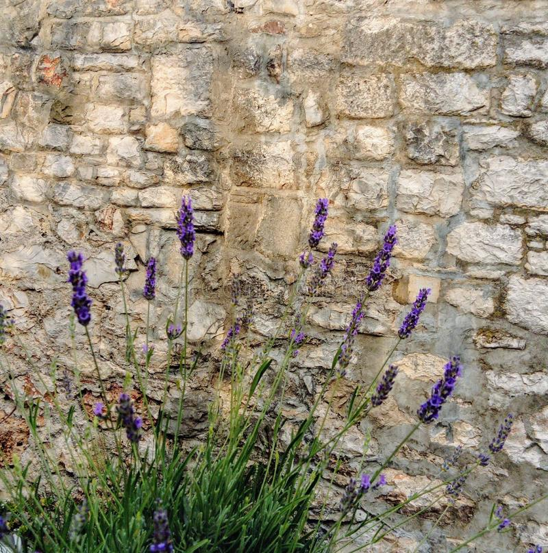 Lavender in front of stone wall royalty free stock photo