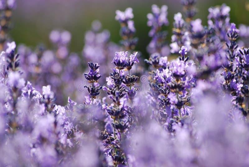 Lavender in garden stock photography