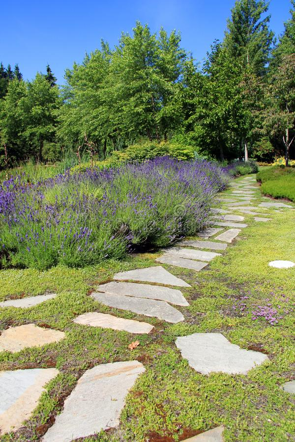 Lavender garden path royalty free stock image