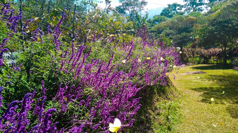 Lavender garden and small yellow butterfly. Lavender garden and  yellow butterfly, nature royalty free stock photography