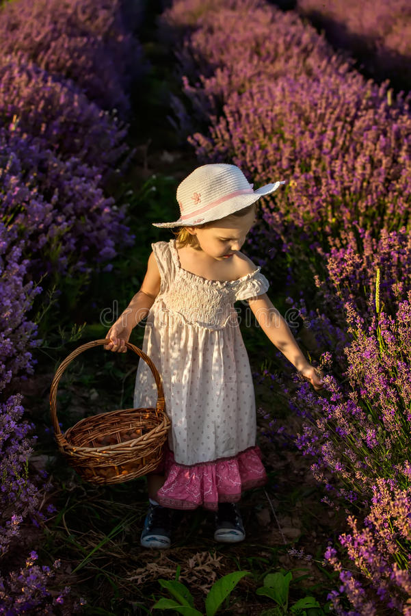 Lavender girl. Child harvesting lavender, holding a basket in a fully bloosomed lavender field royalty free stock photography