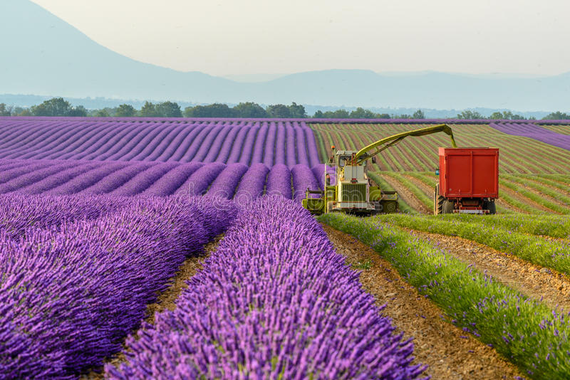 Lavender harvesting, Provence. Lavender field harvesting in the early morning, Valensole Plateau, Provence stock photos