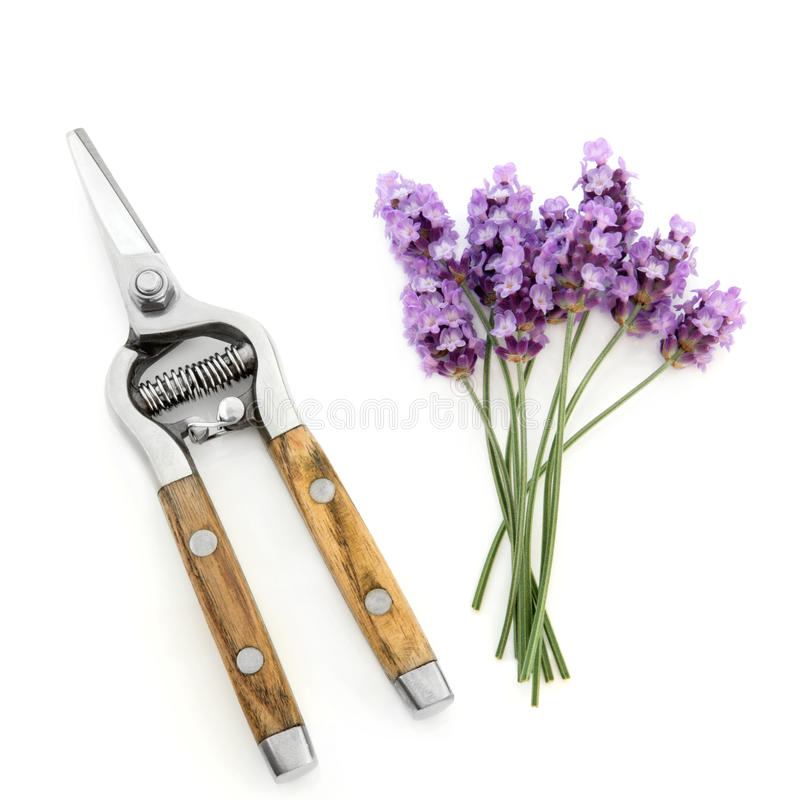 Download Lavender Herb Flowers And Secateurs Stock Photo - Image: 23777266