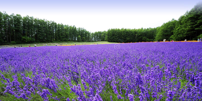 Lavender Hokkaido στοκ φωτογραφίες