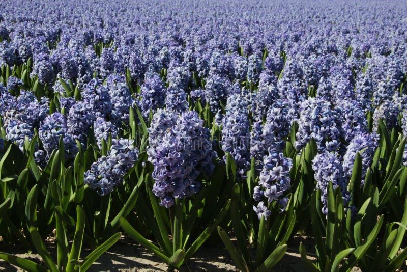 Lavender hyacinth field stock photography