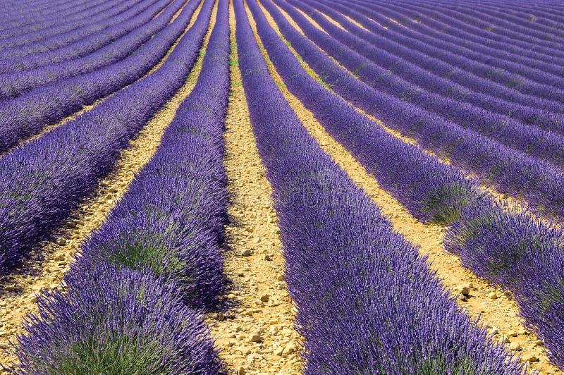 Lavender In The Landscape Stock Image