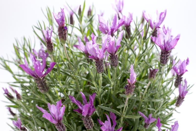 lavender lavandula ισπανικά stoechas στοκ φωτογραφία με δικαίωμα ελεύθερης χρήσης