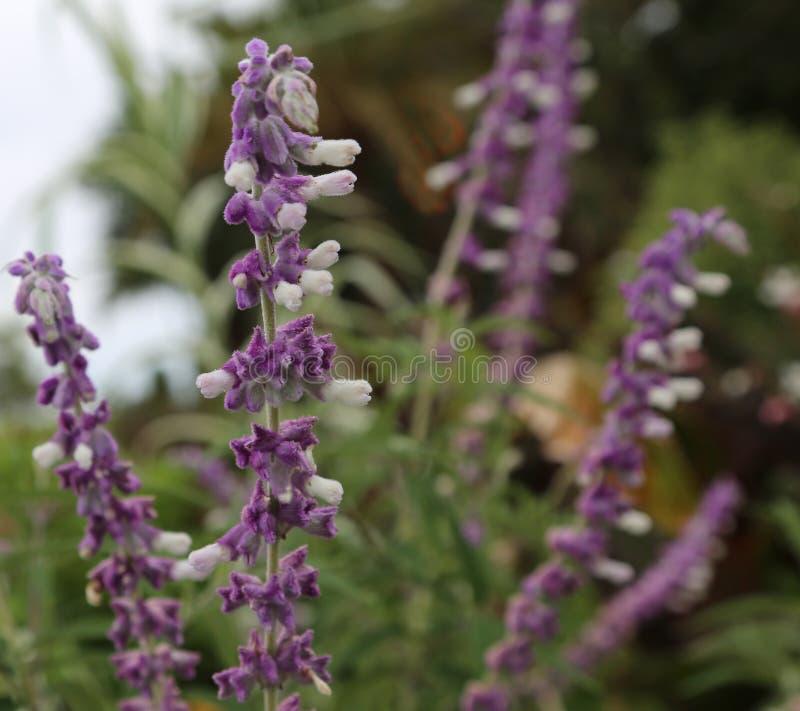 Lavender Lavandula angustifolia Royal Velvet stock photos