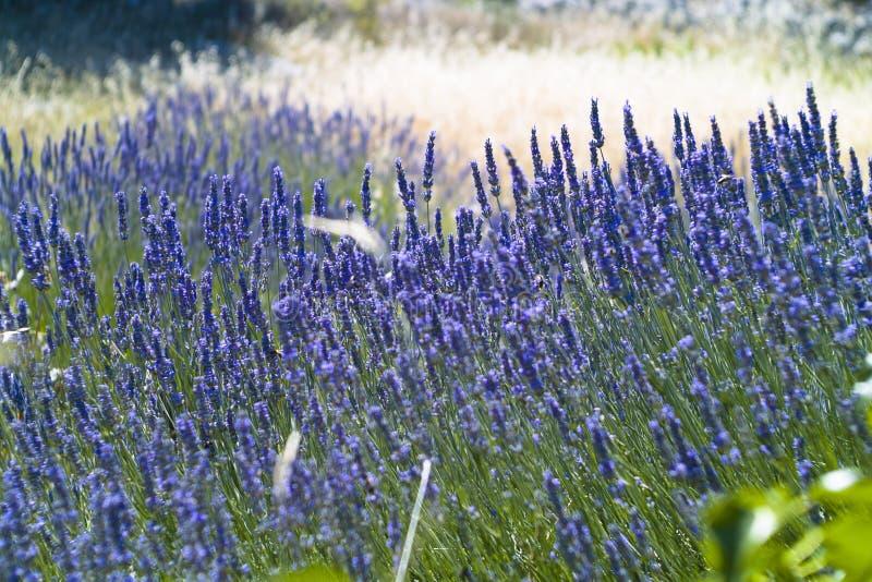 Download The Lavender (Lavandula) Field Texture Stock Photo - Image: 25339018