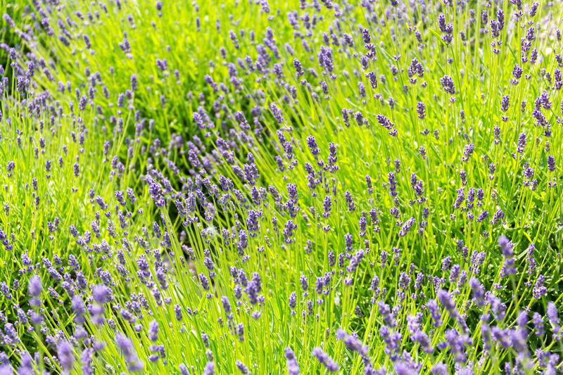 Lavender lavandula flowering plant purple green field, sunlight soft focus. Blur background copy space royalty free stock photo